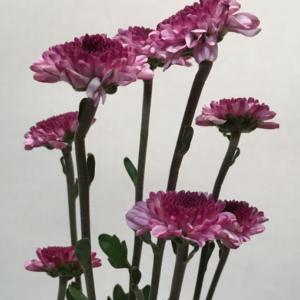 Spray Crysanthemums