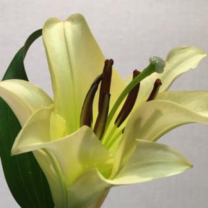 Oriental Lillies